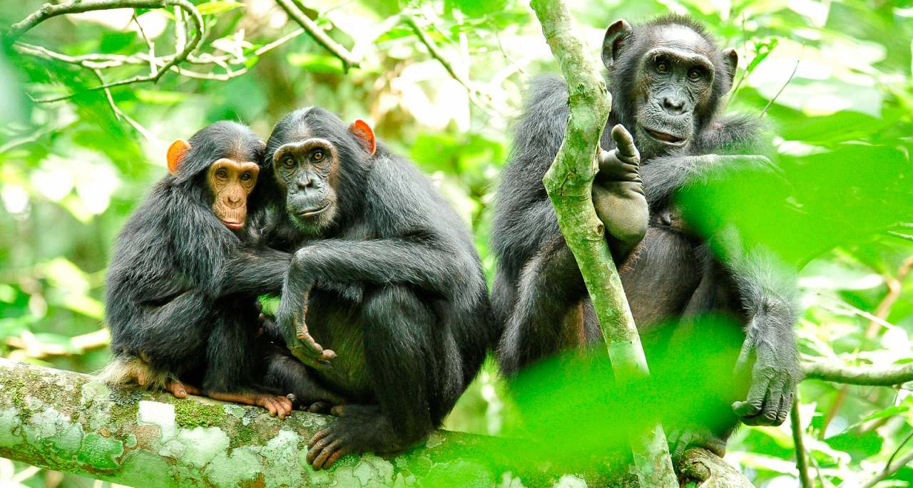 Трекинг к шимпанзе в Уганде
