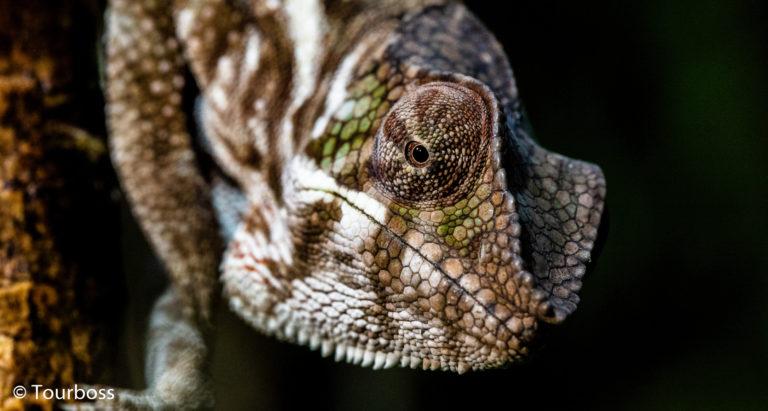 Хамелеоны Мадагаскара