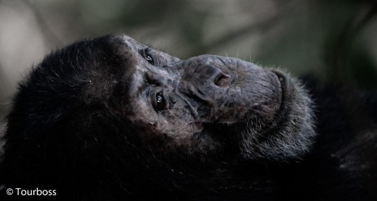 Гориллы, Великая Миграция, шимпанзе на озере Танганьика и частный остров в океане