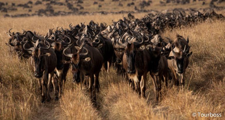 Великая Миграция в Кении и отдых на о. Занзибар