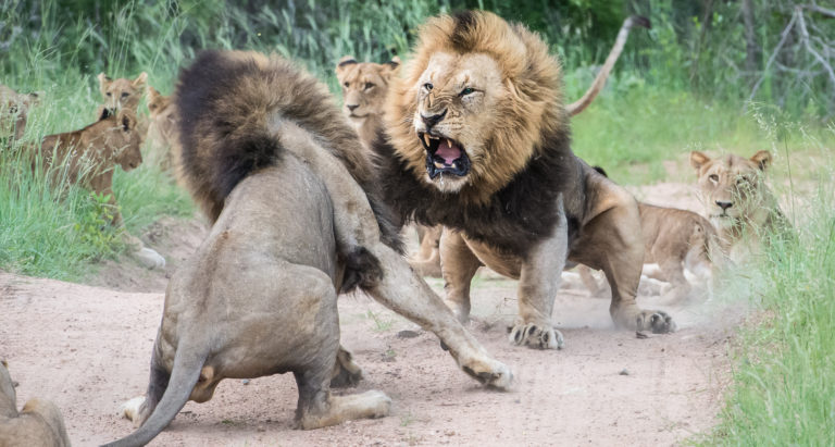 Битва львов