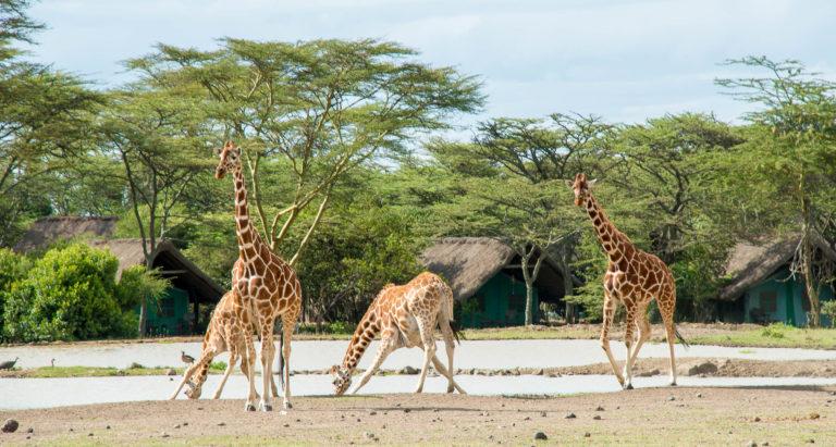 Sweetwaters Tented Camp, Кения