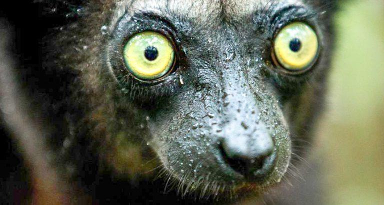 Лемуры Indri